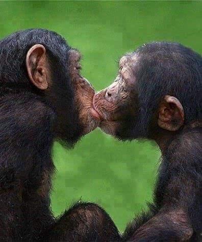 bonobos si baciano