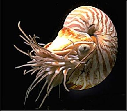 conchiglia Nautilus