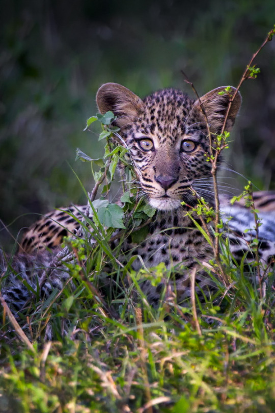 A Leopard cub being extremely cautious with our presence but at the same time super curious. Image captured in the Mara North Conservancy in Kenya.