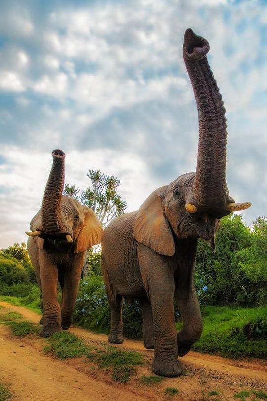 animali elefanti