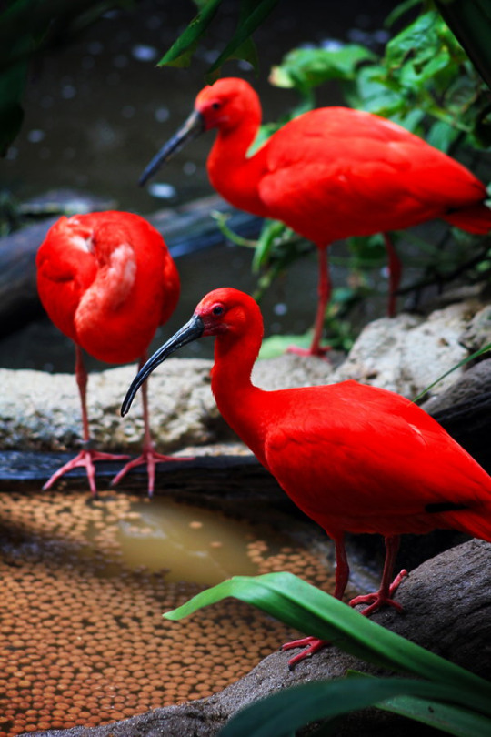 animali fenicotteri rossi