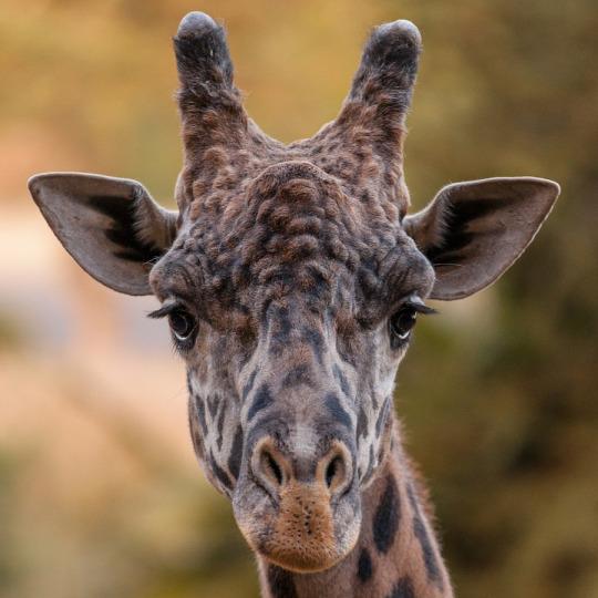 animali giraffa