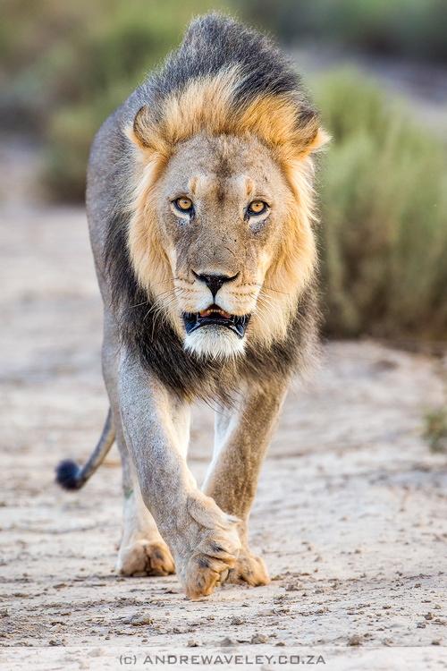 animali leone