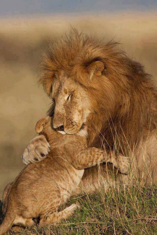 animali leonessa