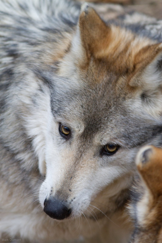 animali lupo