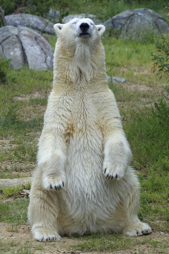 animali orso bianco