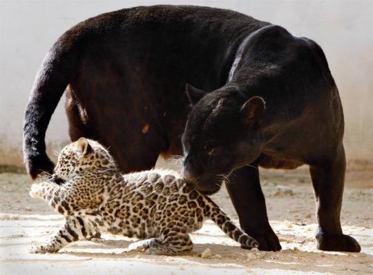 animali pentera nera
