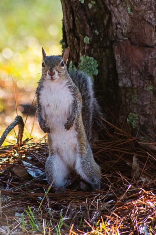 animali scoiattolo