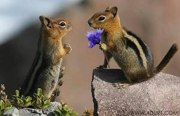 castori con fiore