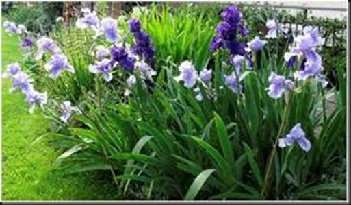 fiorentina iris