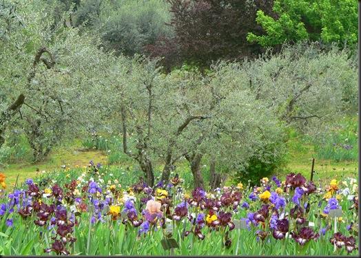 iris giardfino