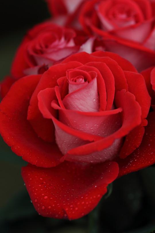 rosa rossa stupenda